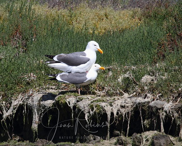 Mating Gulls, Elkhorn Slough, Moss Landing, California