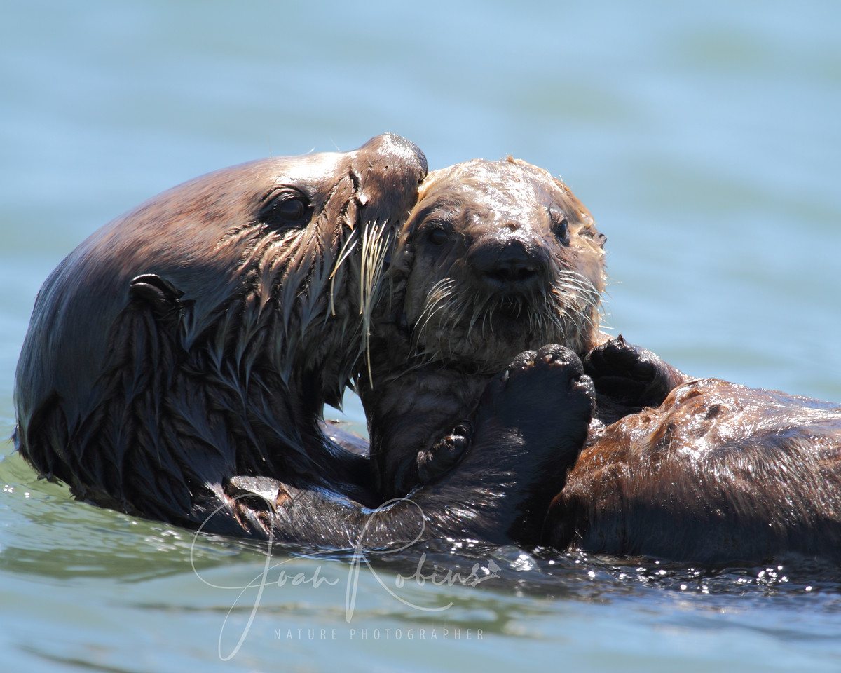 Sea Otter mom and pup, Elkhorn Slough, Moss Landing, California