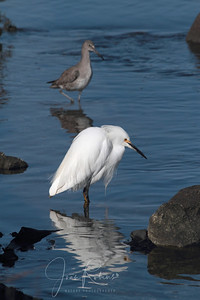 Willet and Snowy Egret