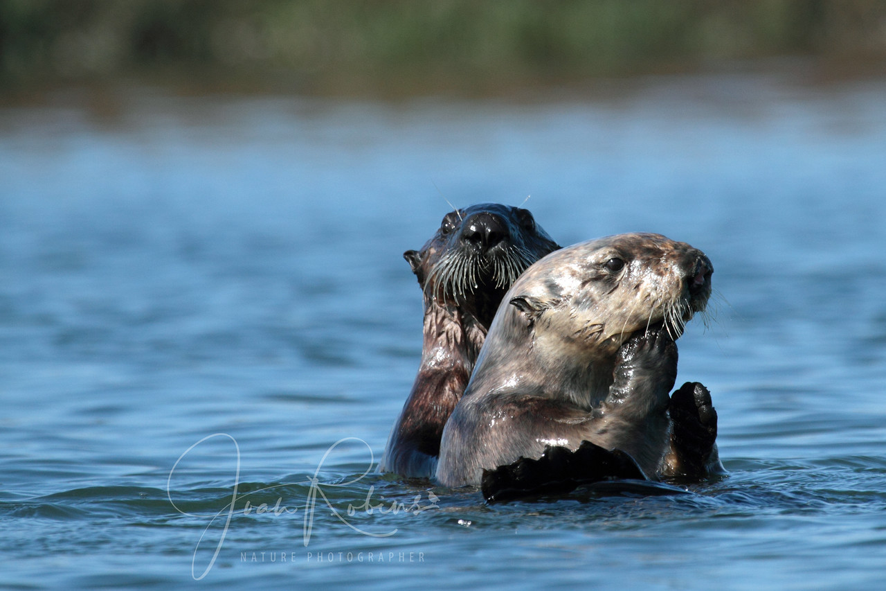 Sea Otters, Elkhorn Slough, Moss Landing, California