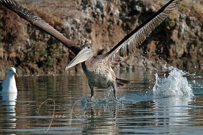 Brown Pelican takes off at Elkhorn Slough near Monterey, California