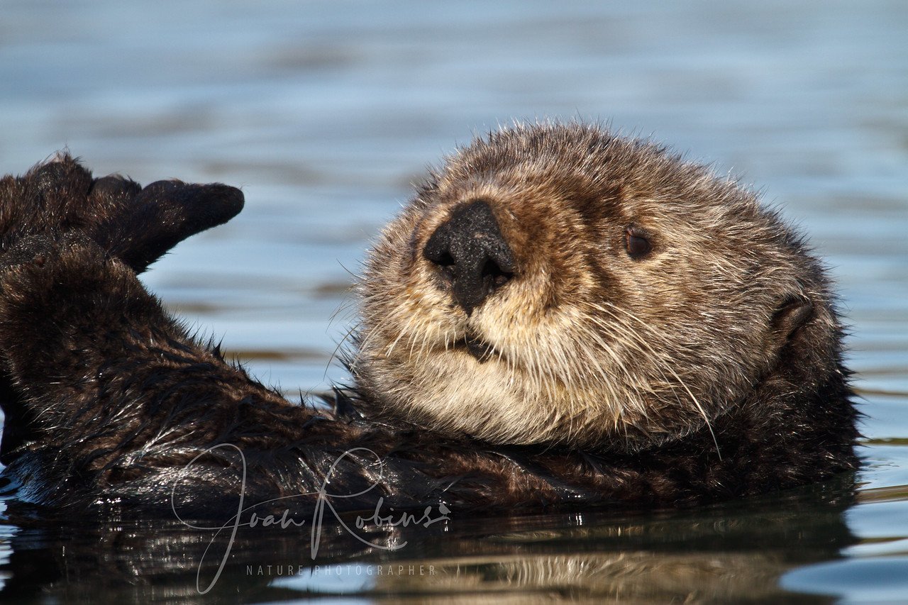 Sea Otter, Elkhorn Slough, Moss Landing, California
