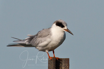 Not sure if this is a Least Tern or an Arctic Tern. Can someone tell me?