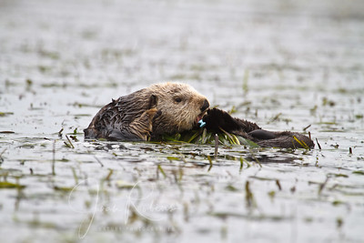 Old fellow in the eel grass licking his plastic band. And yes,