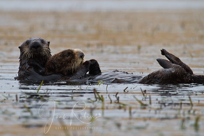 Sea Otter Mom and very large pup, Elkhorn Slough, Moss Landing, California