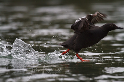 Guillimot dashing out of the frame (uncropped)