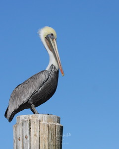 Brown Pelican, Elkhorn Slough, Moss Landing, California