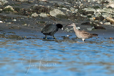Coot and Whimbrel (a type of Curlew) -- bad shot, but wanted to show the curved vs straight beak of the Godwit