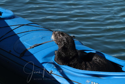 Sea Otter Kayaker, Elkhorn Slough, Moss Landing, California