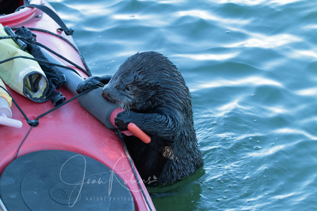 Otter using pump as chew toy, Elkhorn Slough, Moss Landing, California