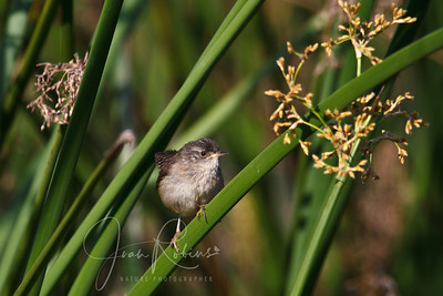 Marsh Wren chick, Ellis Creek, Petaluma, California