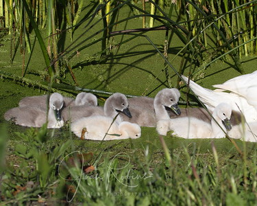 Cygnets, Ellis Creek, Petaluma, California