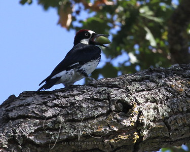 Acorn Woodpecker--all of these were huge crops. I didn't know he had an acorn!