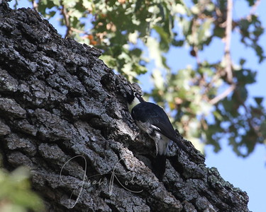 HUGE crop--Acorn Woodpecker