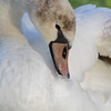 Mute Swan, Ellis Creek, Petaluma, California