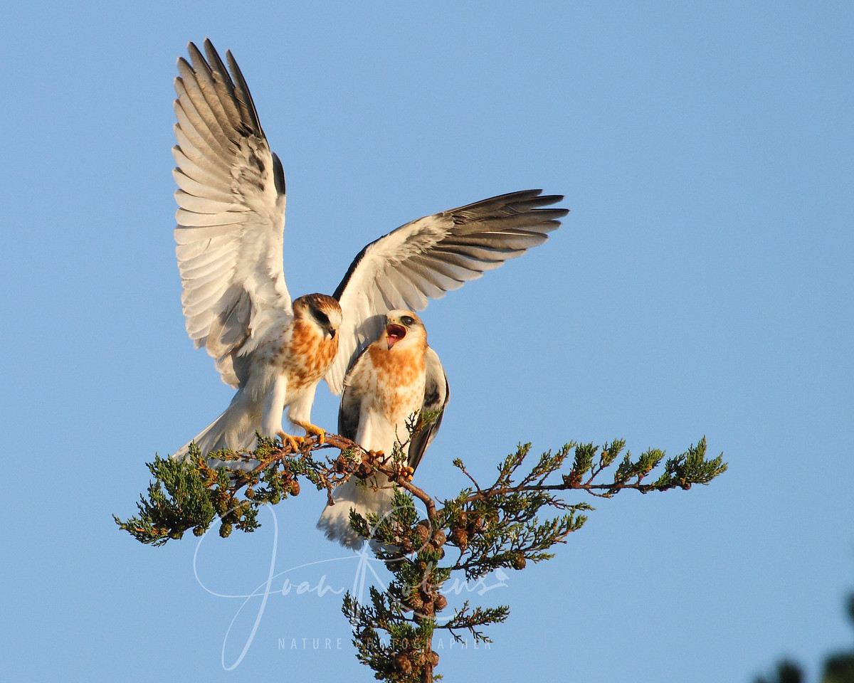 White-tailed Kite fledglings, Ellis Creek, Petaluma, California