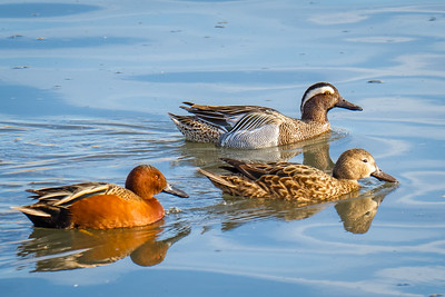 Garganey duck, rare in this region
