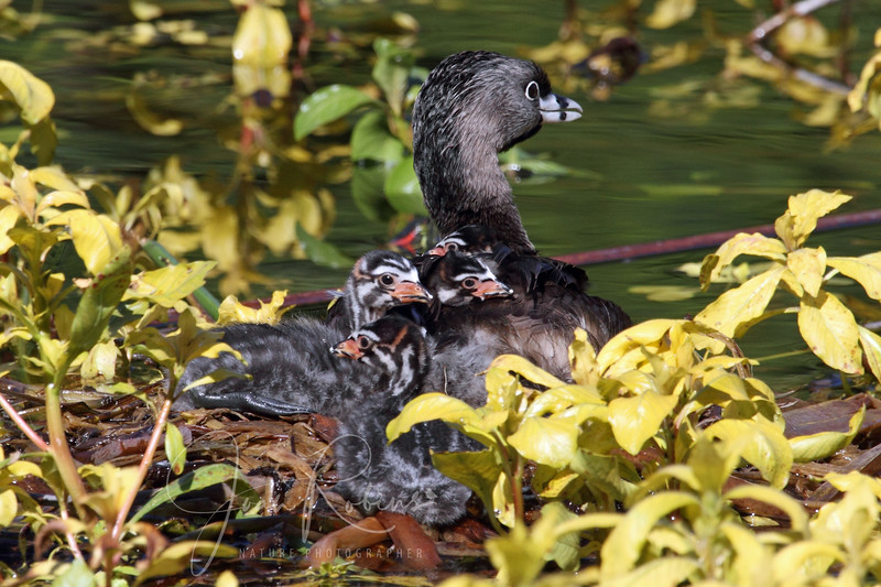 Pied-billed Grebe mom and chicks, Golden Gate Park, San Francisco, California