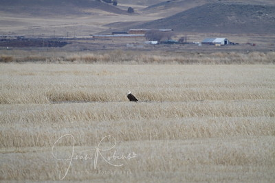 Our first Eagle in Klamath!