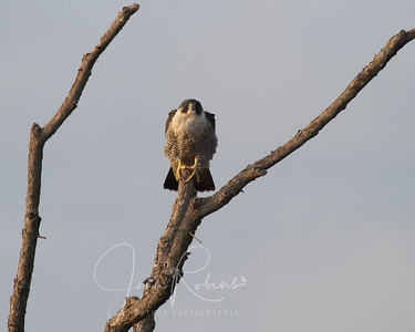 My first Peregrine Falcon in the wild!