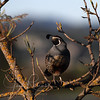 California Quail, Las Gallinas ponds, San Rafael, California