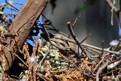 Red Shoulder Hawk Mom barely visible in nest