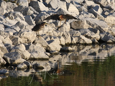 Young Green Heron with parent approaching
