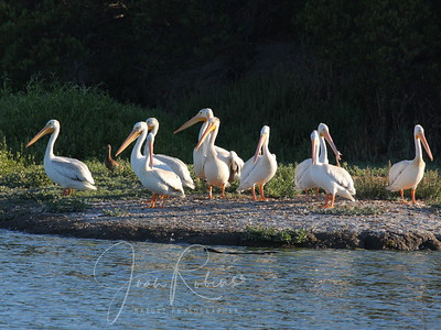 Even the Pelicans who had been resting comfortably suddenly stood and looked alert!
