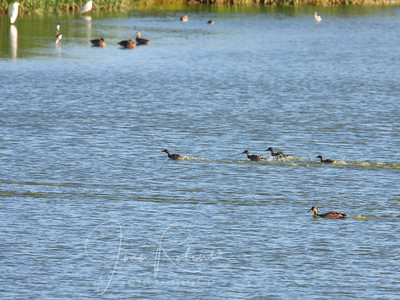 When suddenly they took off like a shot--the little ones racing across the top of the water! SOMETHING had frightened them . . .