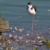 Black-necked Stilt, Las Gallinas ponds, San Rafael, California