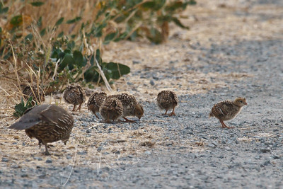Quail chicks with mom