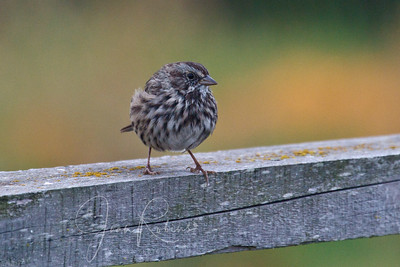 Song Sparrow chick