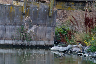 Young Night Heron coming in, young Green Heron departing