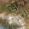 Goldfinch, Las Gallinas ponds, San Rafael, California