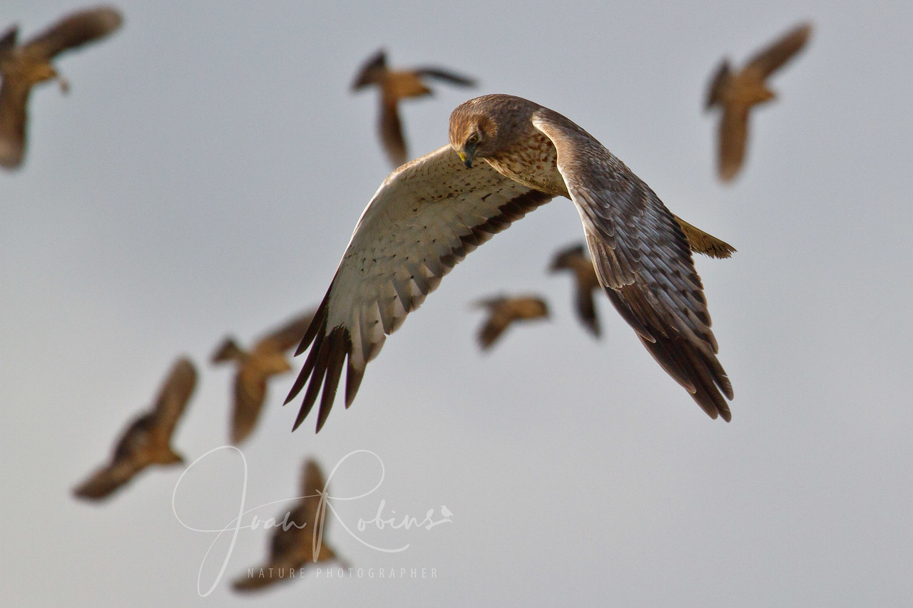 Male Harrier, with background Dowitchers, Las Gallinas Ponds, San Rafael, California