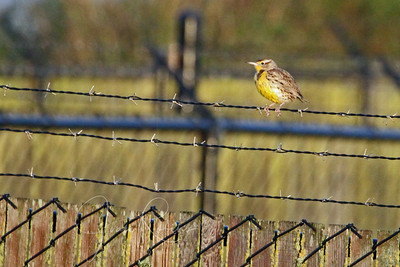 First Meadowlark spotted at Las Gallinas