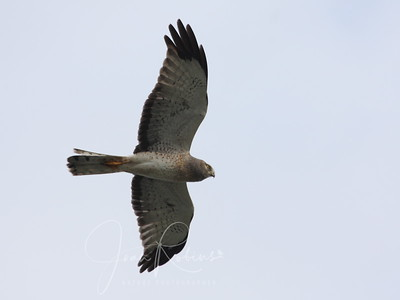 Male Norther Harrier