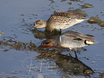 Green-winged Teal (with stripe)