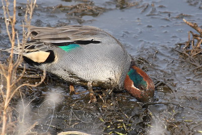 Green-winged Teal (without stripe)