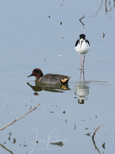 Black-necked Stilt and Green-winded Teal (with stripe)