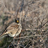 Golden-crowned Sparrow fluffed up