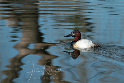 Muddy Canvasback (Contempo)