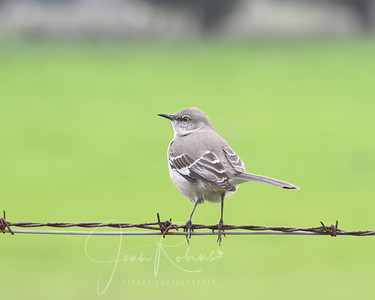 Mocking Bird through car window on the way out