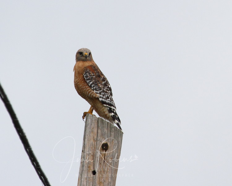 Red-shouldered Hawk on my own street!
