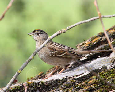 Golden-crowned Sparrow also at the tree