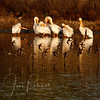 Pelicans and Sandpipers, Las Gallinas ponds, San Rafael, California