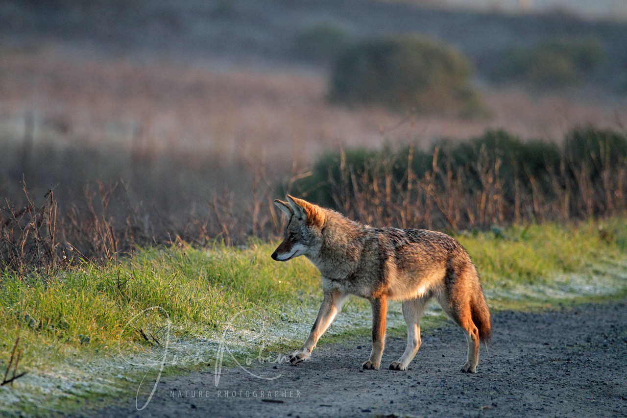 Coyote, rising sun, melting frost, Las Gallinas ponds, San Rafael, California