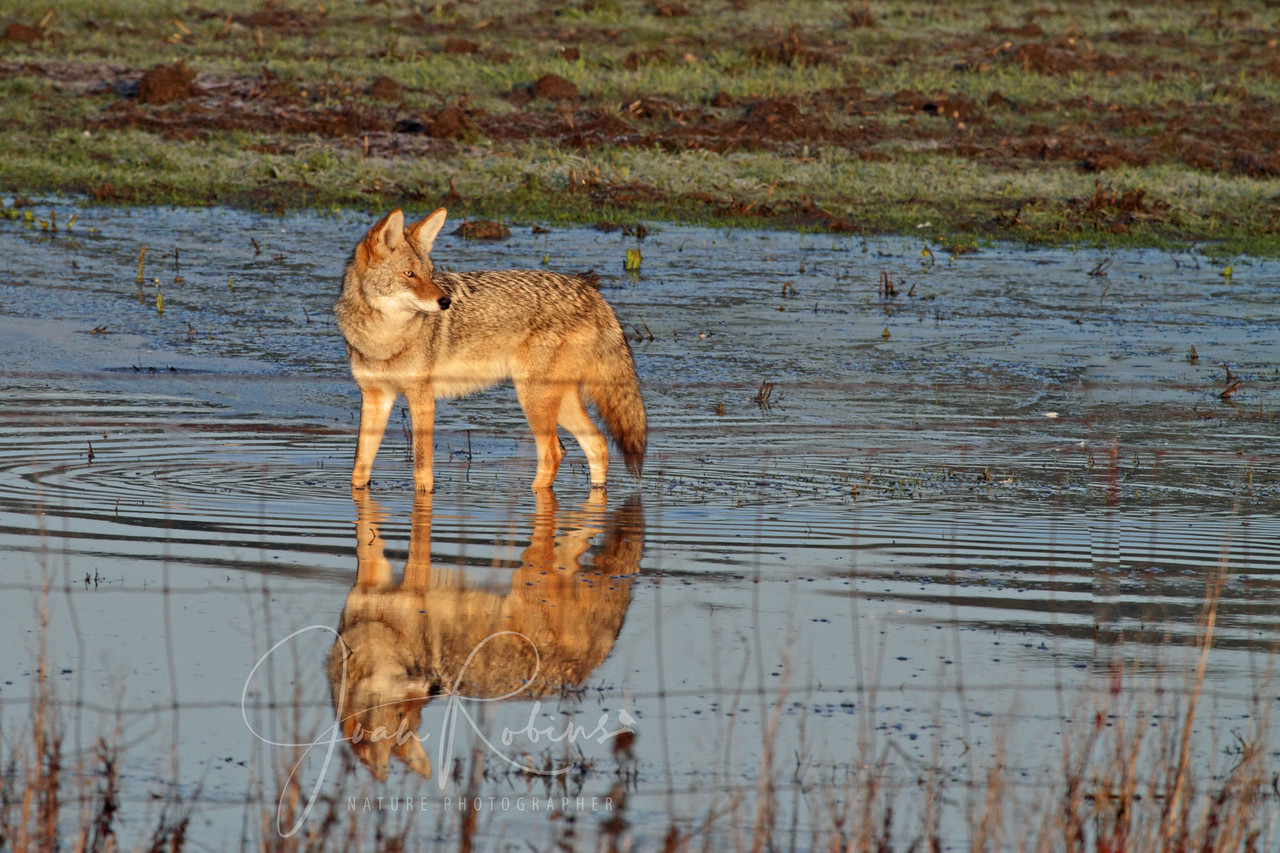 Coyote reflection, Las Gallinas ponds, San Rafael, California