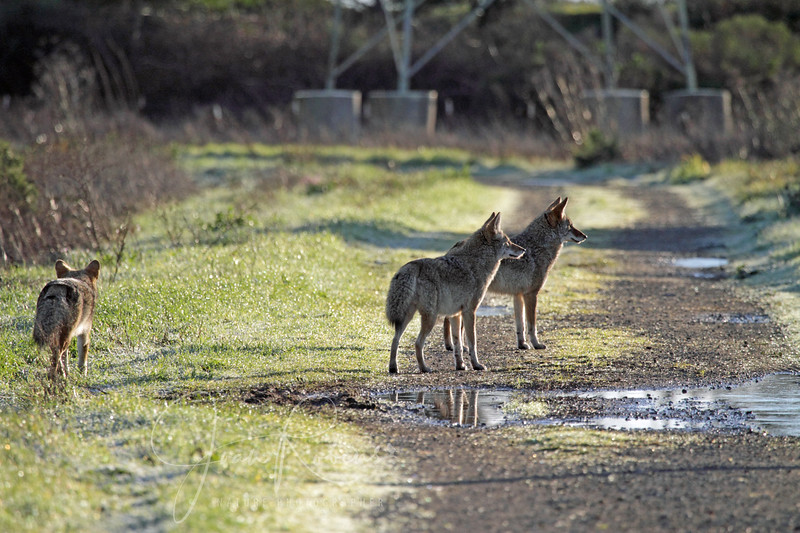 New Years Eve Coyotes