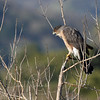 Sharp-shinned Hawk coughing, I think